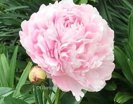 Paeonia lactiflora 'Sarah Bernhardt'