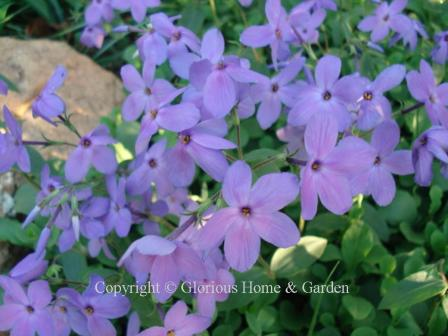 Phlox stolonifera 'Sherwood Purple'