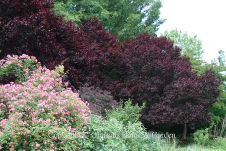 Prunus cerifera 'Thundercloud'