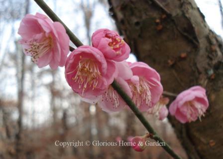Winter Flowering Trees