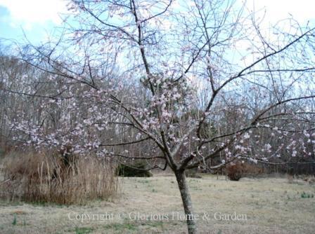 Prunus subhirtella var. autumnalis