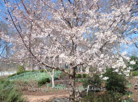 Prunus 'Akebono'
