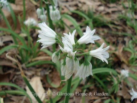 Puschkinia scilloides var. libanotica