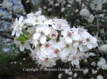 Prunus calleryana 'Bradford'