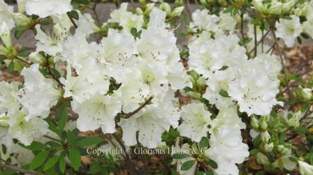 Encore azalea 'Autumn Starlite'