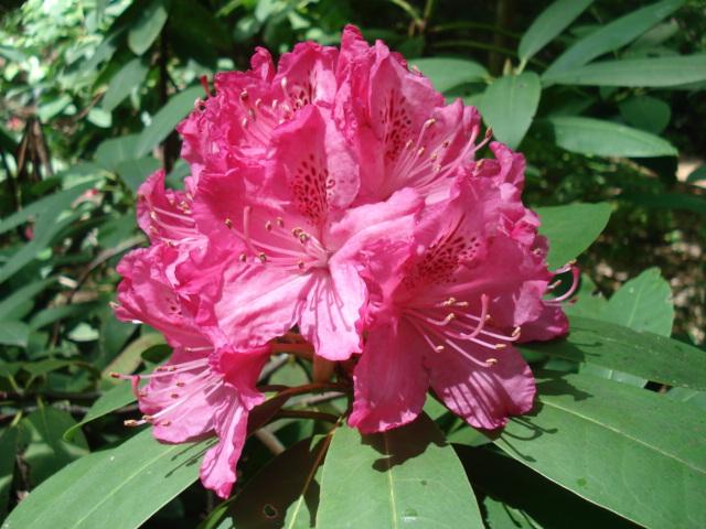 Rhododendron x 'Cynthia'