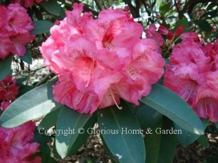 Rhododendron catawbiense 'Jean Marie de Montague'