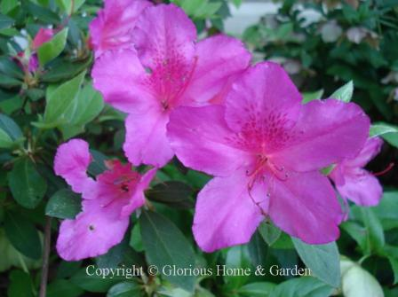 Azalea 'Judge Solomon'