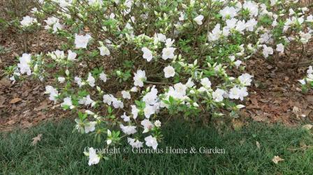 Glenn Dale hybrid azalea 'Pink Ice'