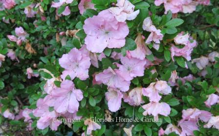 Robin Hill hybrid azalea 'Wachet'