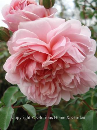 Rose 'Anne Boleyn'