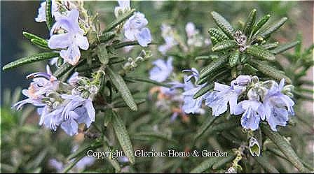 Salvia rosmarinus (or Rosmarinus officinalis)