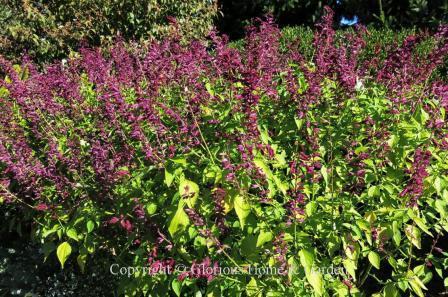Salvia spendens 'Van Houttei'