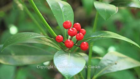 Skimmia japonica 'Highgrove Redbud'