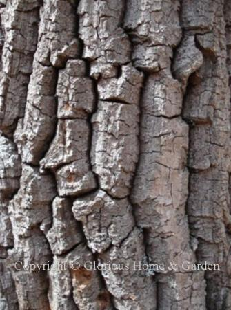 Oxydendrum arboreum, sourwood bark