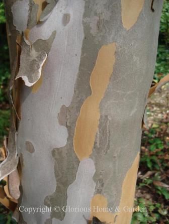 Stewartia koreana bark