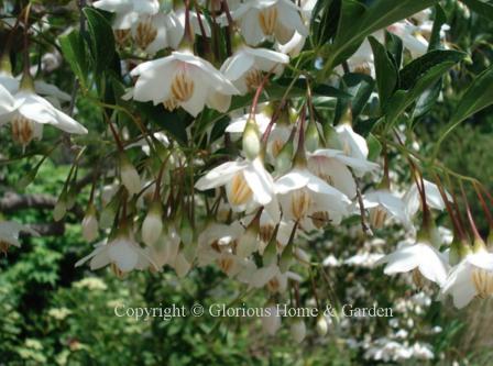 Styrax japonicus 'Rubra Pendula'