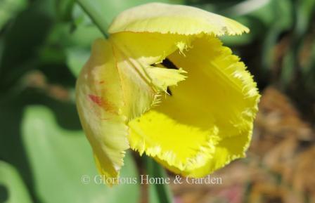 Tulip 'Fringed Elegance'