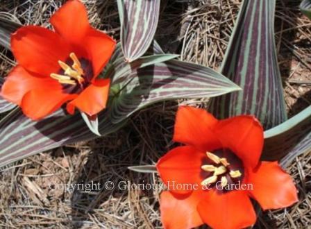 Tulipa greigii 'Red Riding Hood'