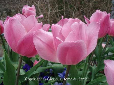 Tulip 'Happy Family'