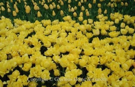 Tulip 'Monte Carlo'