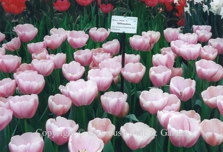 Tulip 'Ollioules'