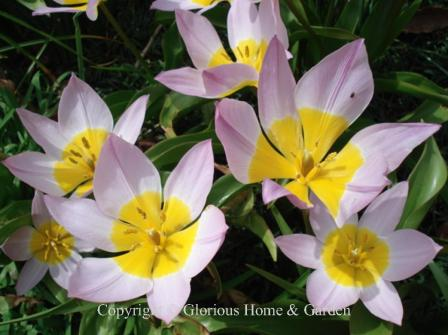 Tulipa saxitilis