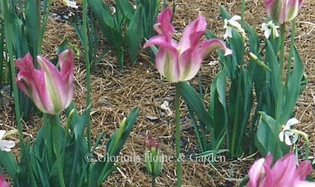 Tulipa 'Virichic'