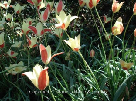 Tulipa clusiana 'Iinka'