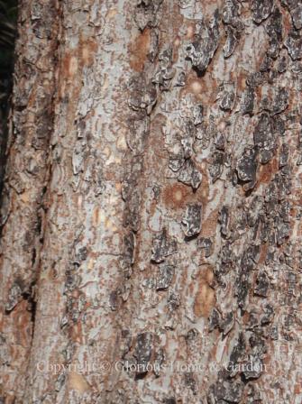 Ulmus parvifolia, lacebark elm bark