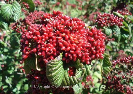 Viburnum dilatatum 'Cardinal Candy'