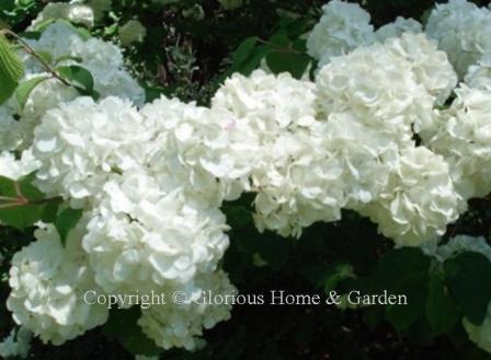 Viburnum plicatum var. tomentosum 'Popcorn'