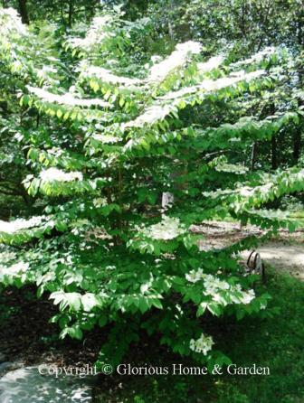 Viburnum plicatum var. tomentosum
