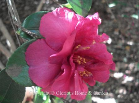 Camellia sasanqua 'Bonanza'
