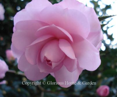 Camellia sasanqua 'Pink Snow'