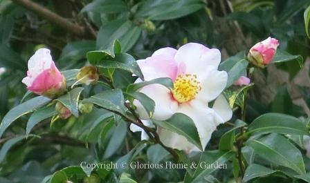 Camellia x vernalis 'Shibori-egao'