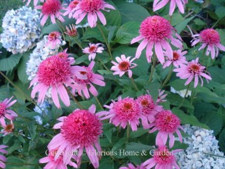 Hydrangea macroiphylla 'Dooley' with Echinacea purpurea 'Cone-fection Pink Double'