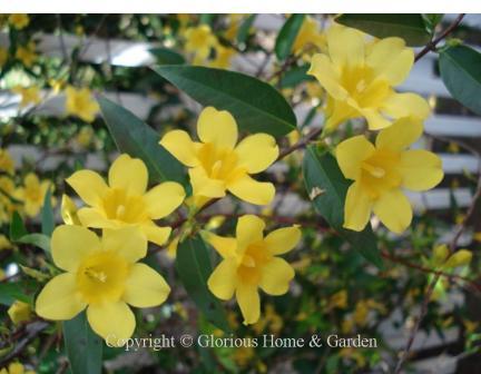 Gelsemium sempervirens, Carolina jessamine