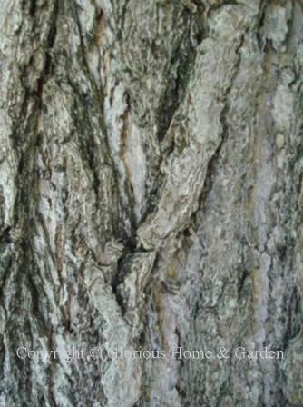 Ginkgo biloba bark