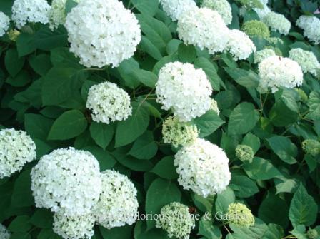 Hydrangea arborescens Balsam