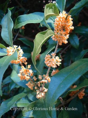 Osmanthus fragrans f. aurantiacus