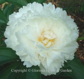 Paeonia lactiflora 'Bowl of Cream'