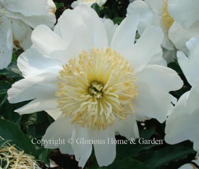Paeonia lactiflora 'Isani Gidui'