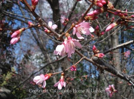 Prunus 'Okame'