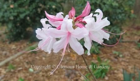 Aromi hybrid azalea 'Spring Sensation'