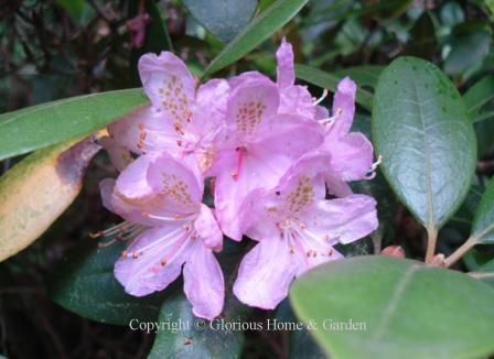 Rhododendron carolinianum