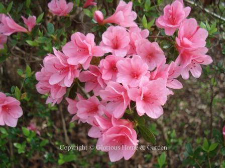 Kurume hybrid azalea 'Coral Bells'