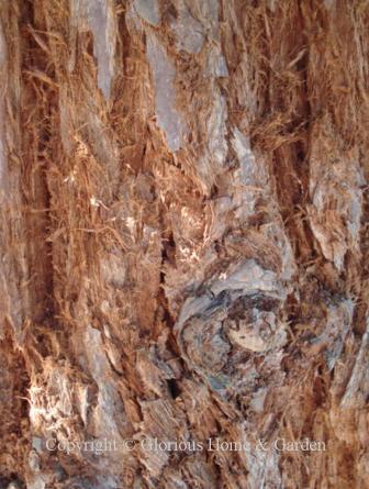 Sequoia sempervirens, redwood  bark     bark