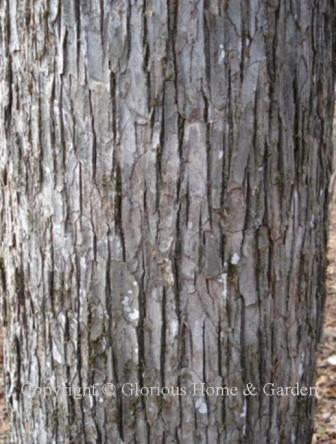 Ulmus alata, winged elm bark
