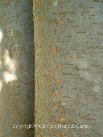 Zelkova carpinifolia bark